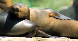 Portrait of a sleeping Patagonian sea lion baby Royalty Free Stock Images