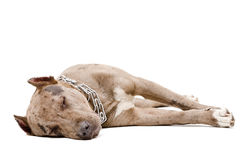 Portrait of a sleeping pit bull Stock Images