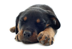 Sleeping rottweiler Stock Photography
