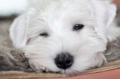 Portrait of a sleeping white puppy close-up.