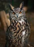 Portrait of a Sleepy Big Own with wonderful orange eyes Stock Images