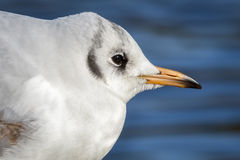 Portrait of a slender-billed gull - Chroicocephalus genei. The slender-billed gull Larus genei is a mid-sized gull stock photography