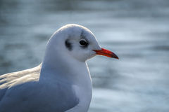 Portrait of a slender-billed gull. The slender-billed gull Larus genei is a mid-sized gull Stock Image