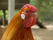 Portrait of a slim orange rooster with a wrinkled crumpled red comb, a cockscomb and white ear lobe. Portrait of a slim orange rooster with a wrinkled crumpled stock photos