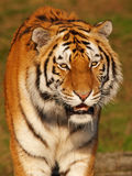 Portrait of a slobbering Siberian Tiger. Close-up portrait of a slobbering Siberian Tiger Stock Photos