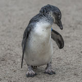 Portrait of a small african penguin at sand, Germany Stock Image
