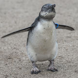 Portrait of a small african penguin at sand, Germany Royalty Free Stock Images