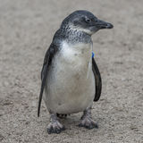 Portrait of a small african penguin at sand, Germany Stock Photography