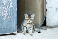 Portrait of small baby cat Royalty Free Stock Photo