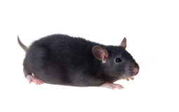 Portrait of a small black rat. Isolated Royalty Free Stock Photography