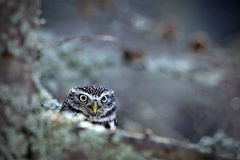 Portrait of small Boreal owl in the autumn larch forest in central Europe Royalty Free Stock Photography