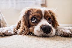 Portrait of small brown dog Stock Image