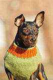 Portrait small brown dog in a green sweater Stock Images