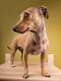 Portrait of a small dog Royalty Free Stock Photo