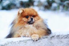 The dog breed pomeranian spitz. The portrait small dog breed Pomeranian Spitz stock images