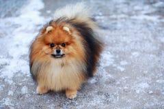 The dog breed pomeranian spitz. The portrait small dog breed Pomeranian Spitz royalty free stock photos