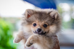 Portrait of small dog on human hand Royalty Free Stock Images