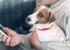 Portrait of a small dog Jack Russell Terrier, sitting on the lap of an adult male owner, while he is using a smartphone stock images