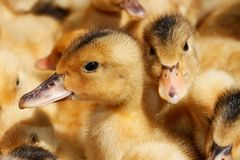 Portrait of small domestic duckling Stock Images