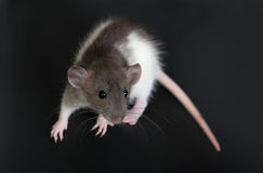 Portrait of a small domestic rat Stock Images