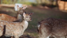 Portrait of small fawn deer in reserved area in a sunny day. Reservation territory, pure nature. Amazing wildlife. Rare. Species. Close up, camera stabilizer stock video footage
