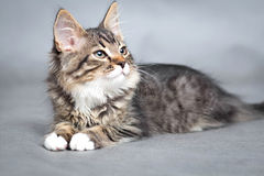 Portrait of small fluffy lying cat Royalty Free Stock Photo