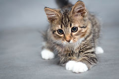 Portrait of small fluffy lying cat Stock Images