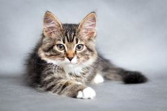 Portrait of small fluffy lying cat Royalty Free Stock Photos