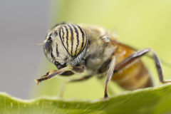 Portrait of a small fly. Taken with a reversed lens on a Canon EOS Dx body to get maximum magnification. very shallow DOF, thus very good for Background Stock Photos