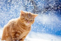 Kitten walking in the snow in the winter in a blizzard. Portrait of a small ginger kitten walking in the snow in the winter in a blizzard royalty free stock photos