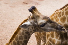 Portrait of small giraffe child, following it`s mom Royalty Free Stock Photo