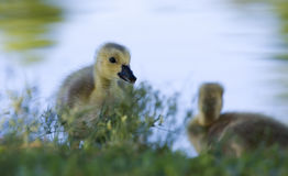 Portrait of a small gosling Royalty Free Stock Photography