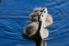 Portrait of a small gosling Stock Images