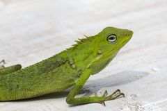 Portrait of a small green iguana in profile on the tropical island Bali, Indonesia. Close up Stock Photo