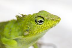 Portrait of a small green iguana in profile on the tropical island Bali, Indonesia. Close up Stock Photography