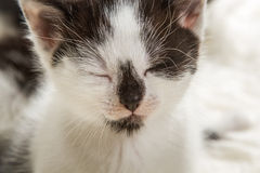 Portrait of a small kitten Royalty Free Stock Photo