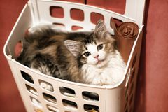 Portrait of small kitten close-up in in the basket for storage stock images