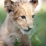 Portrait of small lion cub Stock Photo