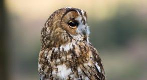 Portrait of a small little cute owl. Portrait of a small cute little owl with big black eyes Stock Photo