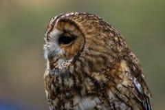 Portrait of a small little cute owl. Portrait of a small cute little owl with woodland plumage Royalty Free Stock Photos