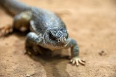 Portrait of a small lizard walking around royalty free stock photo