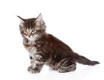 Portrait small maine coon kitten. isolated on white background Stock Photography