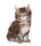 Portrait small maine coon kitten. isolated on white background Royalty Free Stock Image