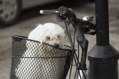 Portrait of small maltese in bicycle basket. Close up, portrait of small white domestic dog, breed maltese, siting in metal basket on black bicycle parked on the Stock Image