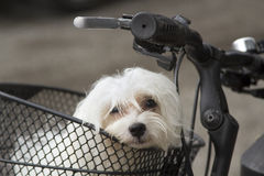 Portrait of small maltese in bicycle basket. Close up, portrait of small white domestic dog, breed maltese, siting in metal basket on black bicycle parked on the Stock Photography