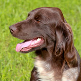 Portrait of Small Munsterlander Pointing Dog Royalty Free Stock Images