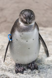 Portrait of a small penguin at sommer time, Germany Stock Image