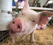 Small piglet piggy pig indoor in a farm barn closeup. Portrait of a small piglet piggy pig indoor in a farm barn closeup stock photo