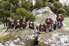 Portrait of small puppies of English Cocker Spaniel Royalty Free Stock Photos