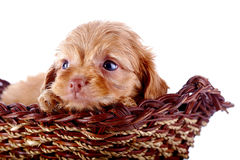 Portrait of a small puppy of a decorative doggie in a wattled basket. Stock Images